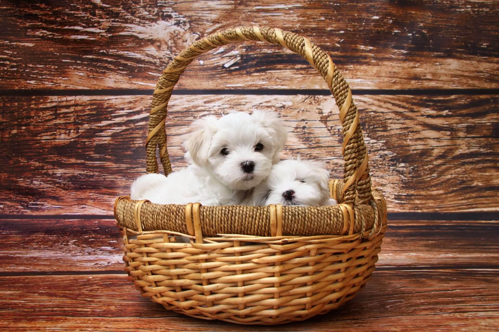 cuccioli di bichon maltese dentro a una cesta