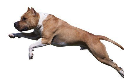american staffordshire terrier dog jumping