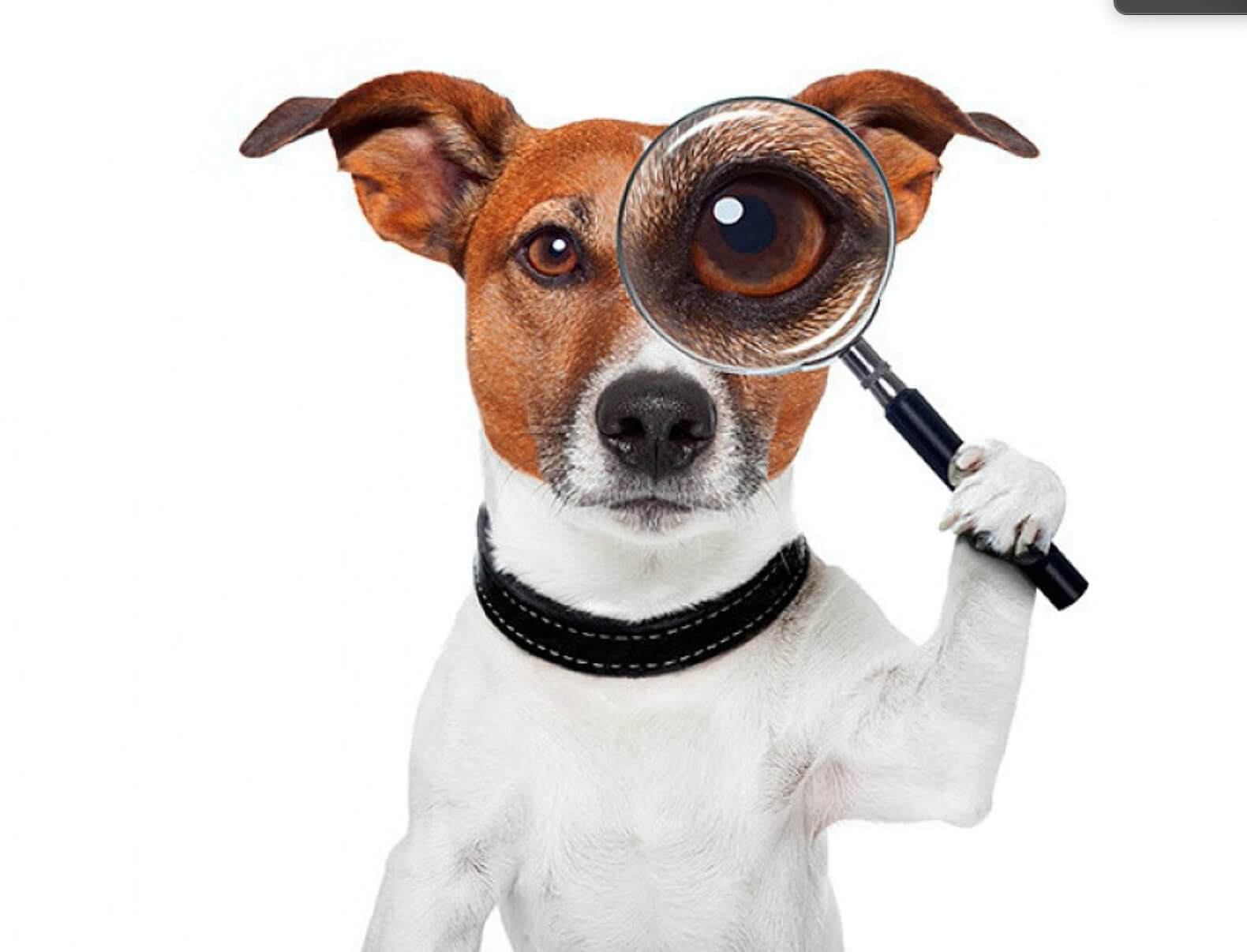 jack russel with big magnify glass