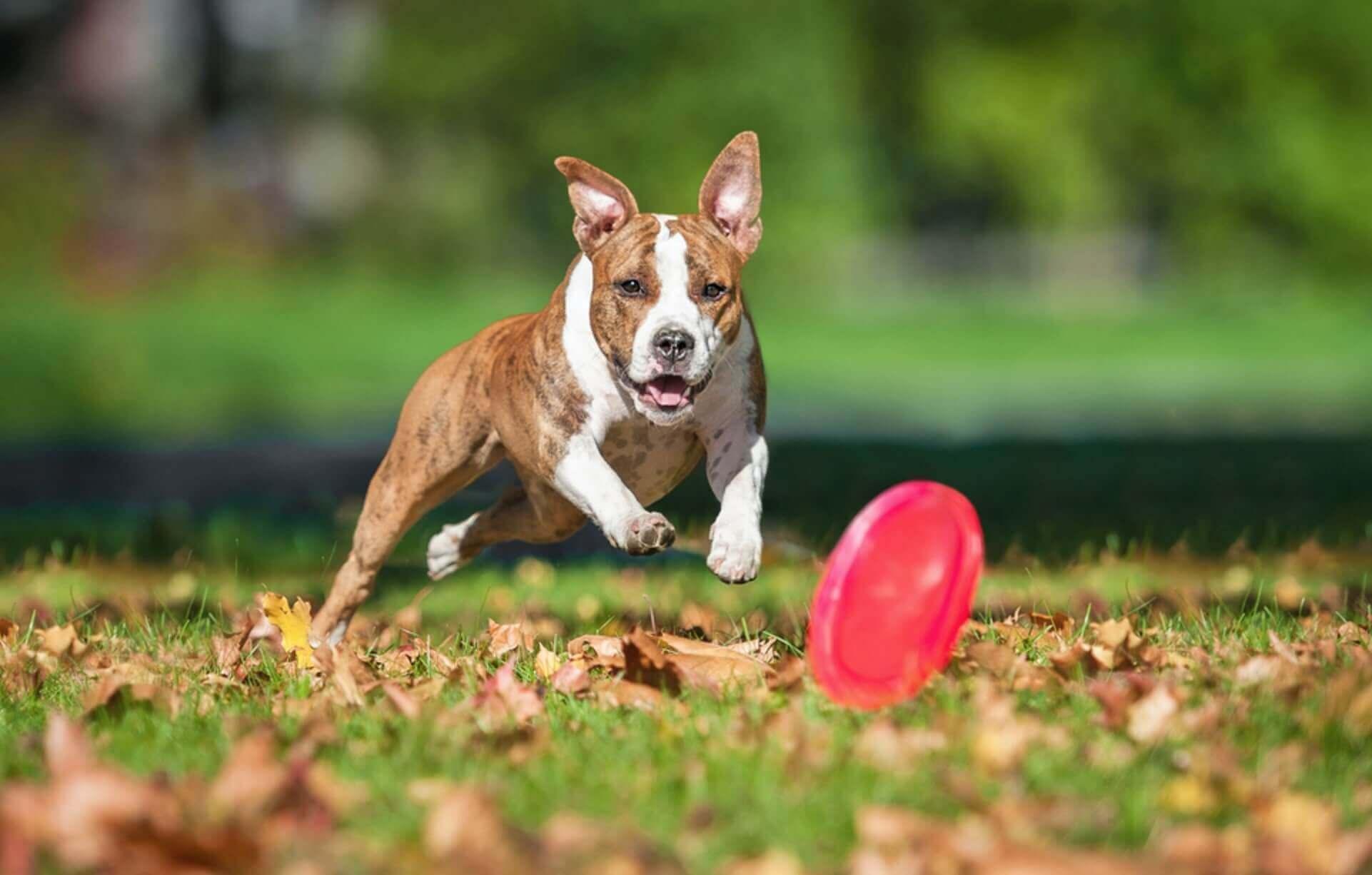 pitbull rincorre un frisbee per cani