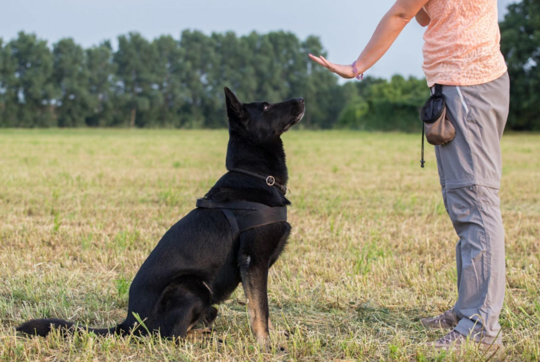 black german shepherd obedience