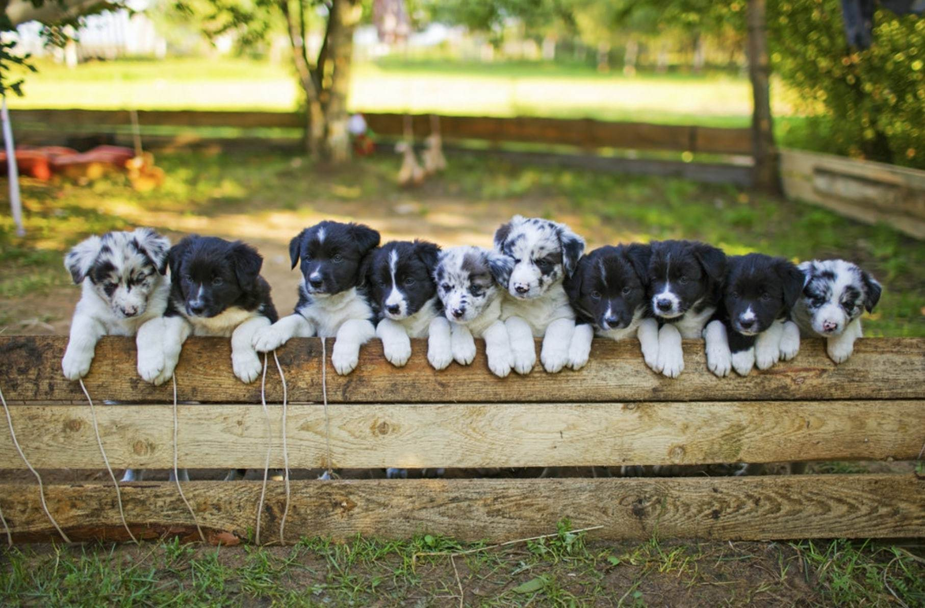 bordercollie puppie black and white and blue merle