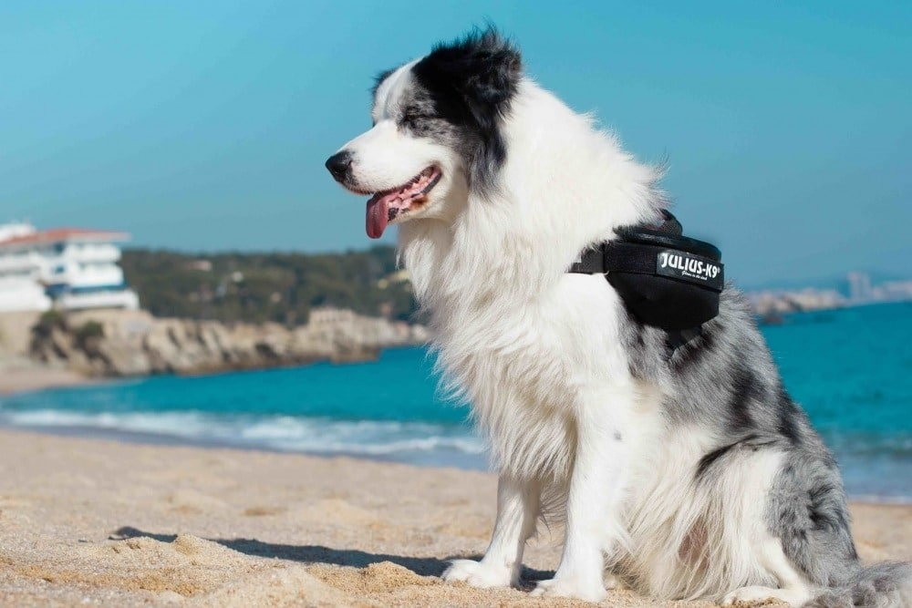 bordercollie beach sea julius k9 side bags