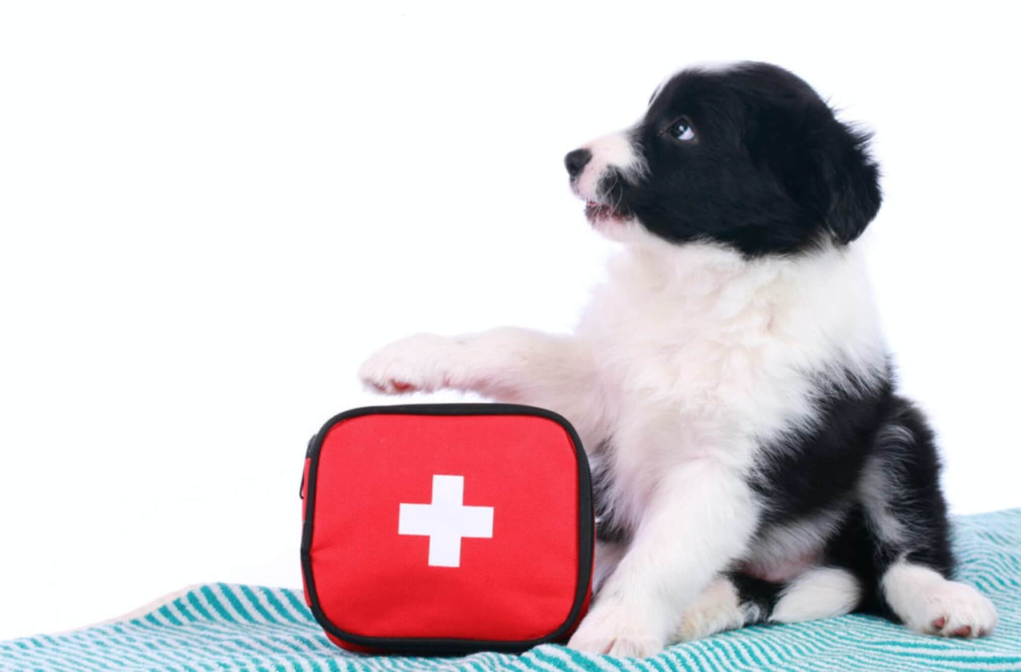 cane border collie con kit di primo soccorso