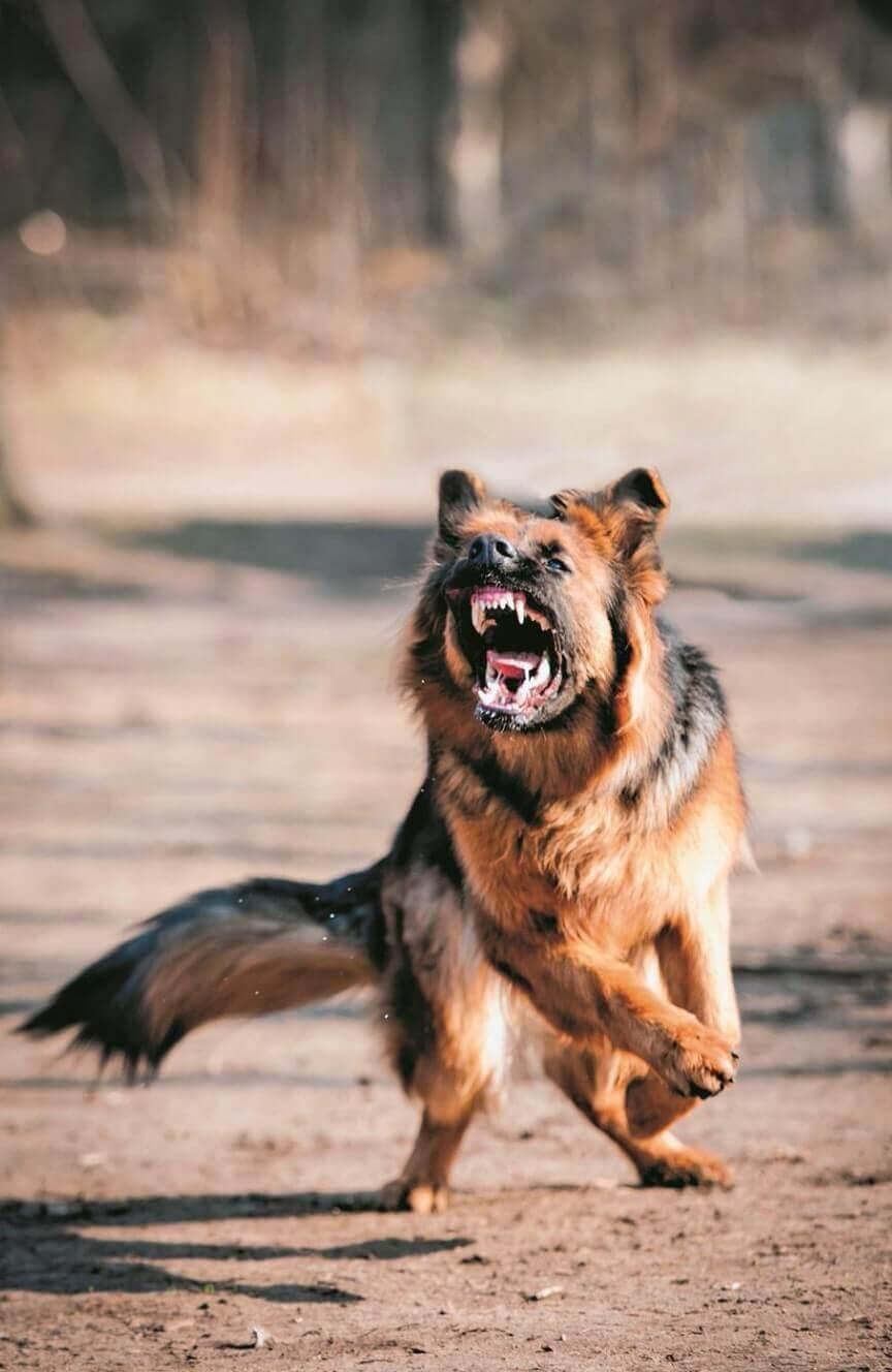german shepherd barking k9 dog