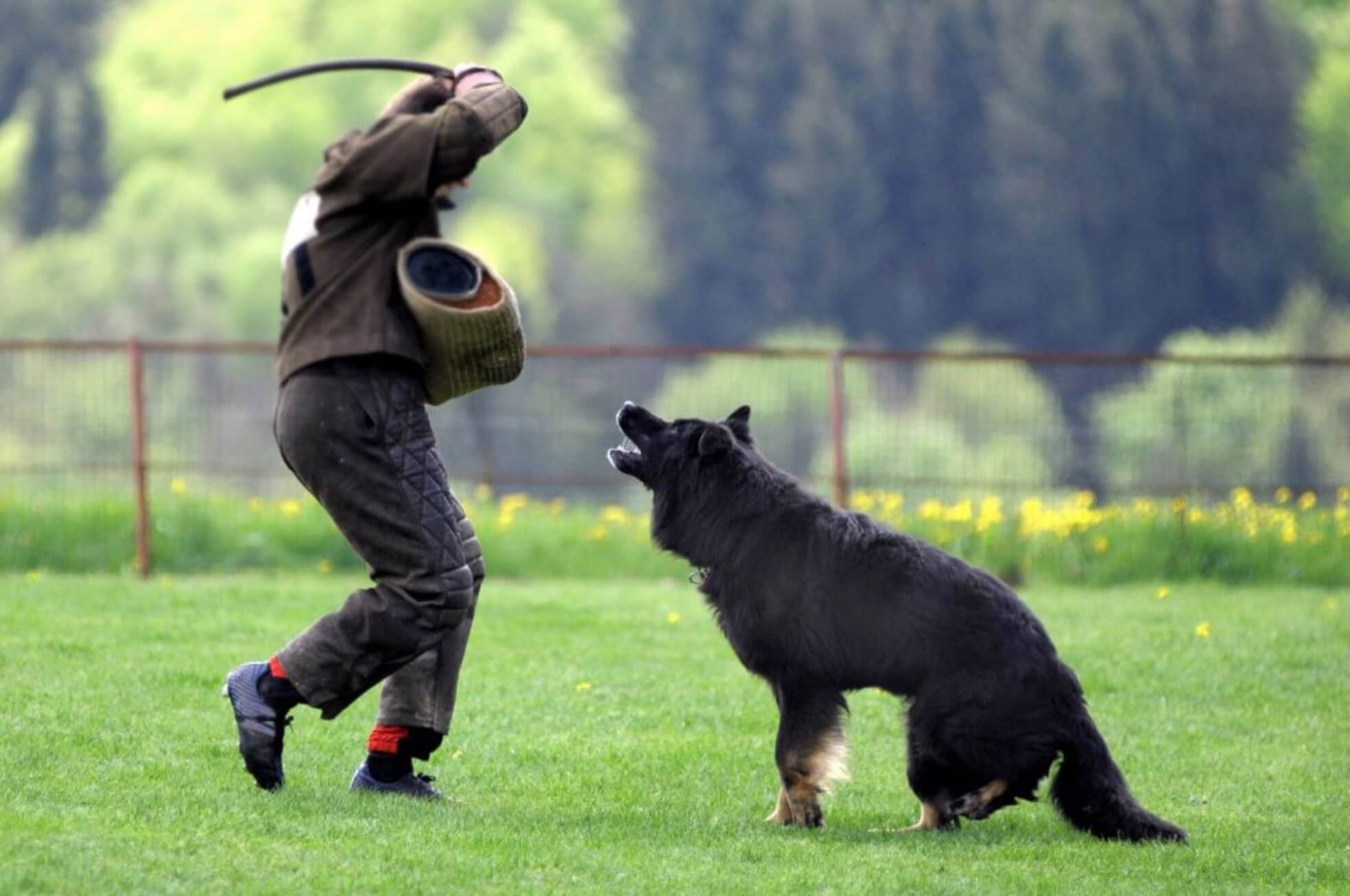 German shepherd french ring sport