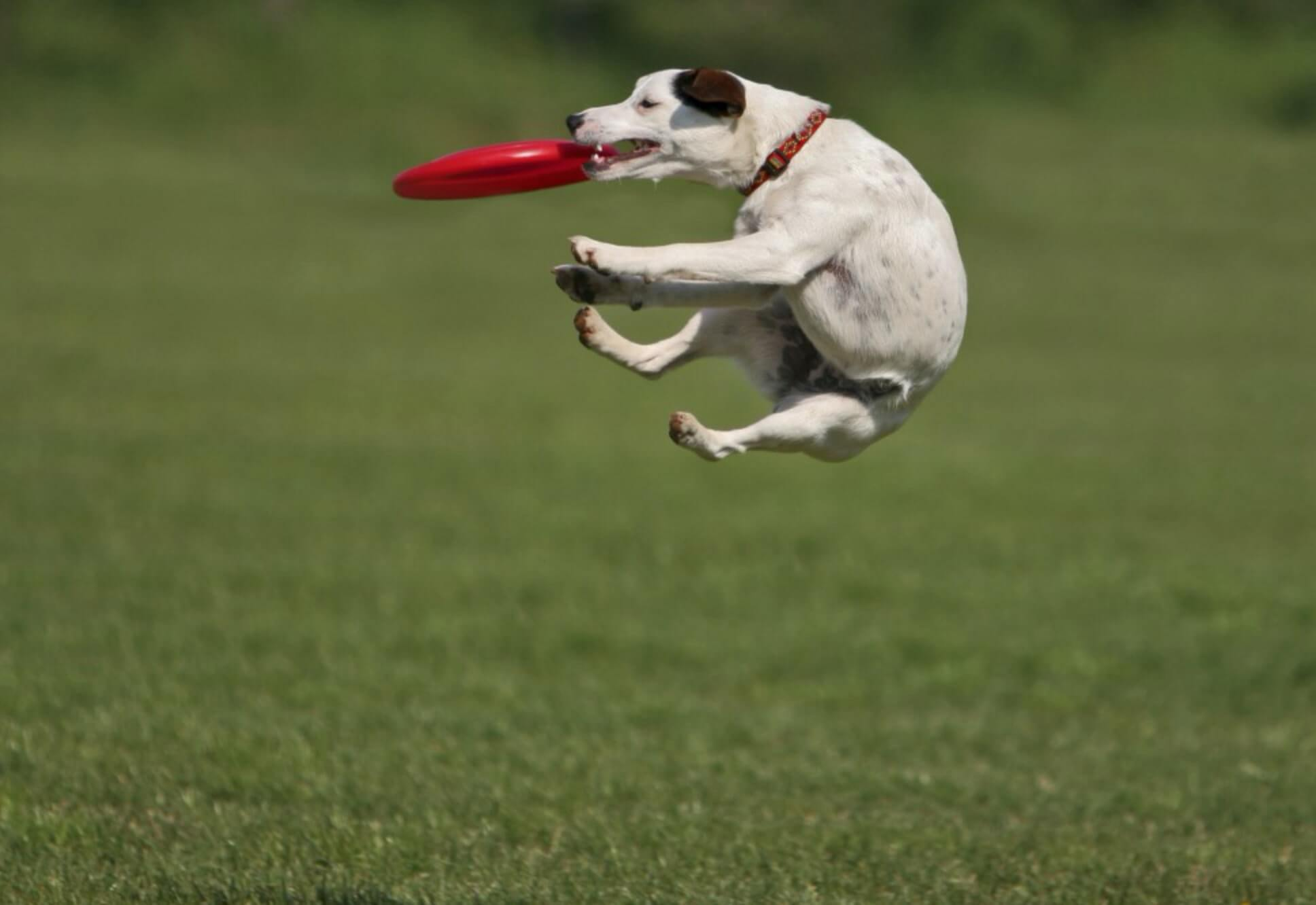 teach your dog to fetch frisbee jackrussel