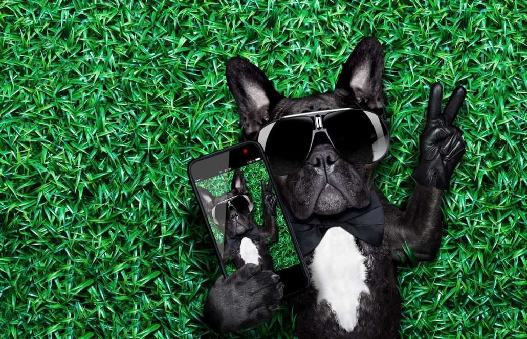 pet photography french bulldog making selfie