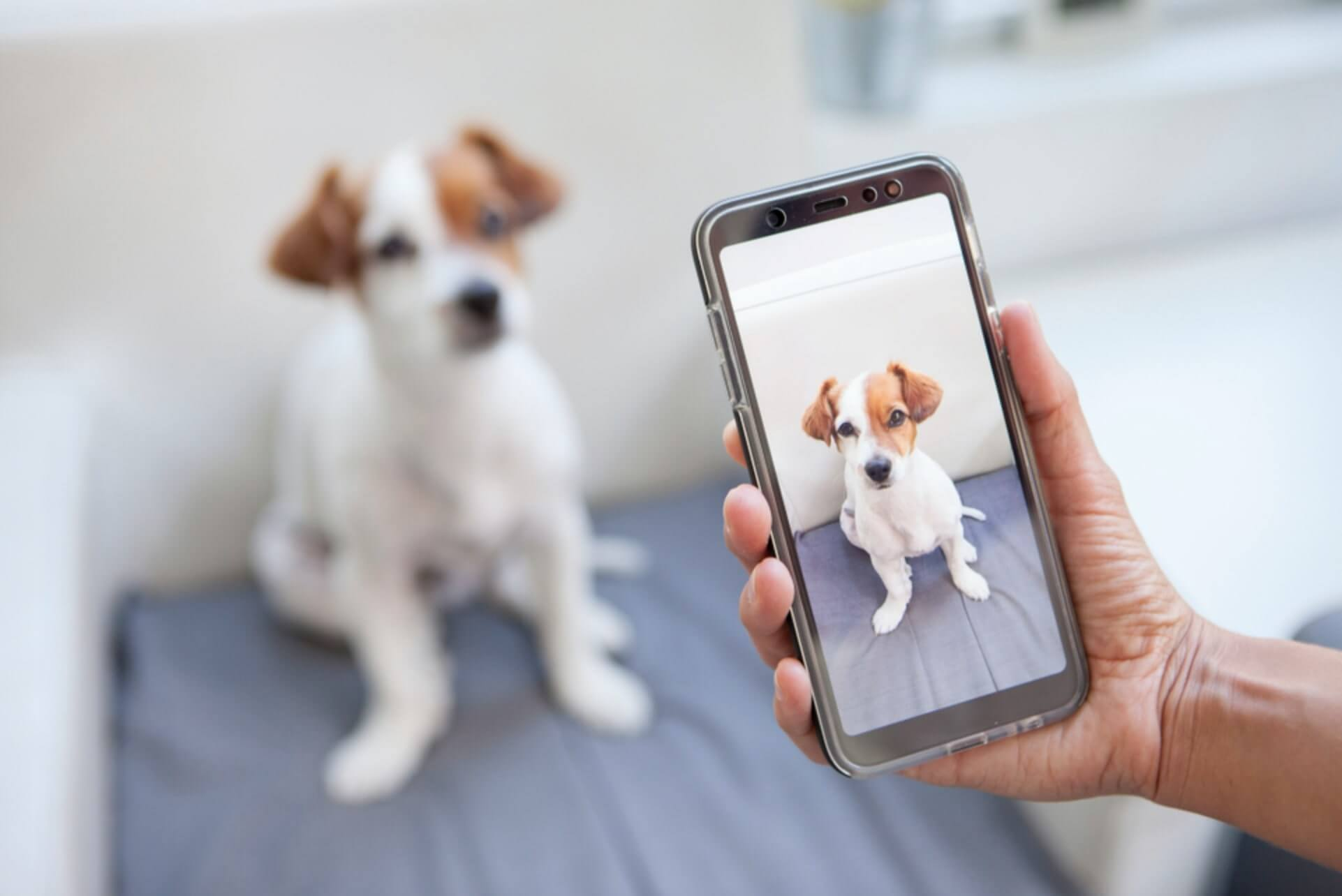 pet photography business jackrussel photographed with iphone