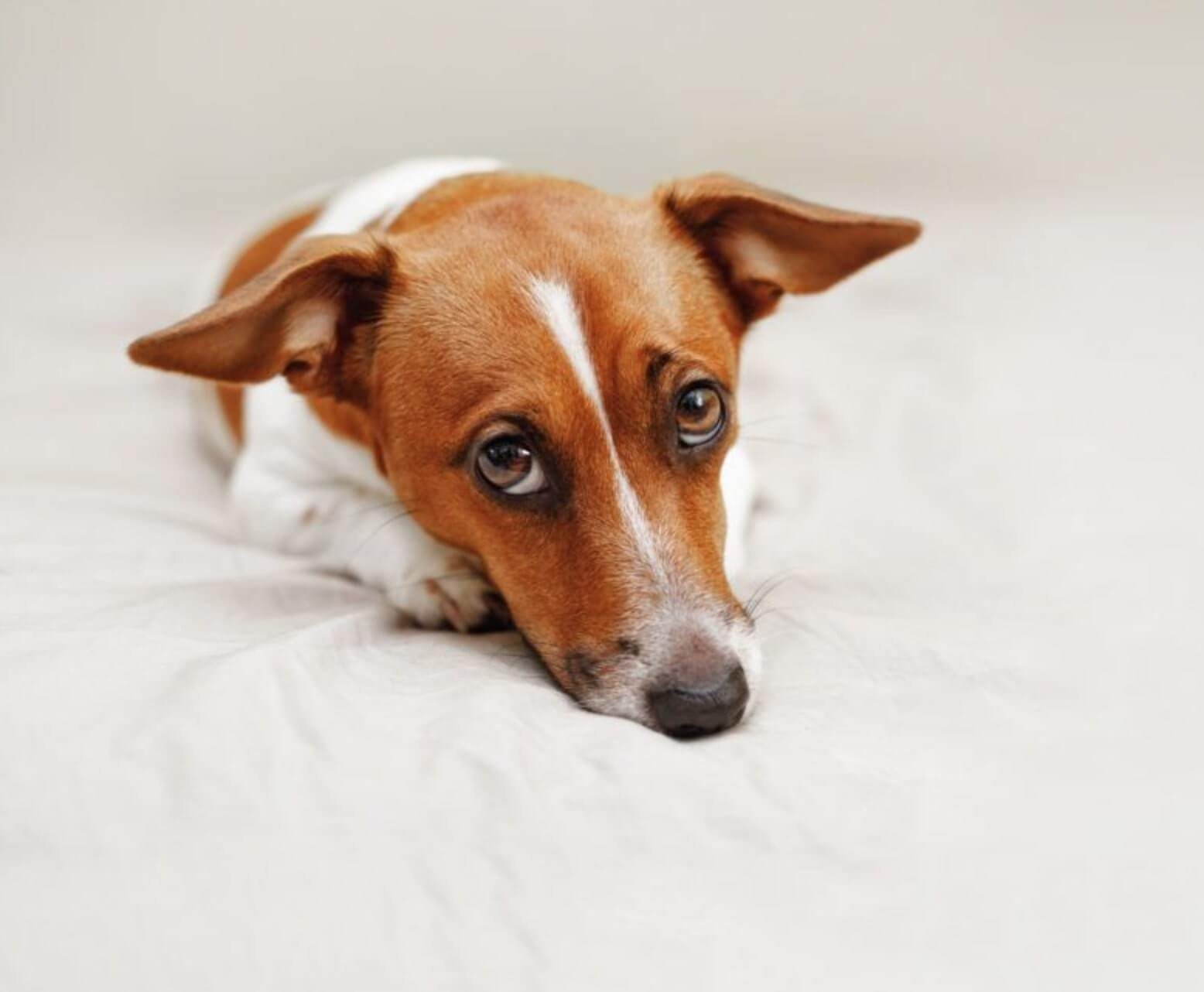 understand your dog jack russel sad