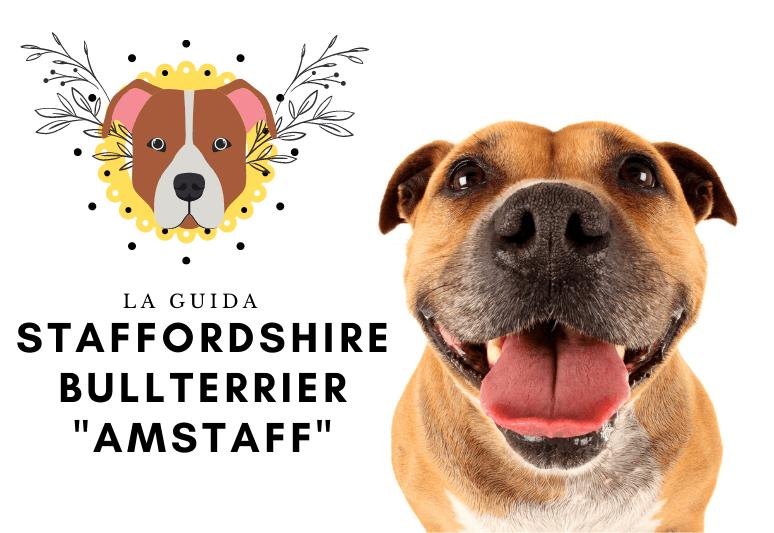 La guida sul cane Staffordshire Bullterrier amstaff