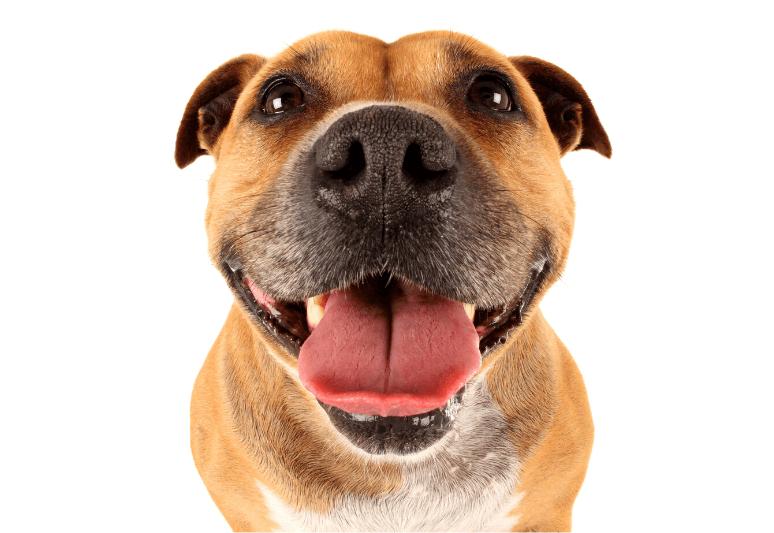 La guida sul cane american staffordshire terrier - amstaff 1