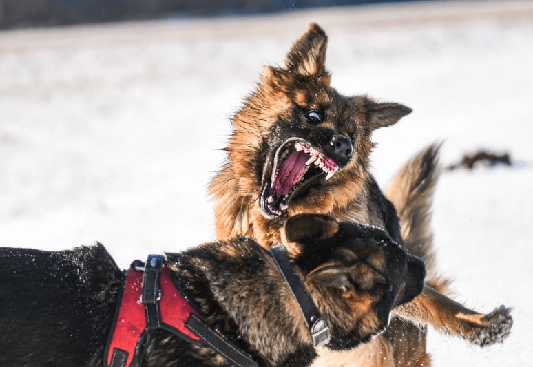 La guida sul cane da pastore tedesco 10