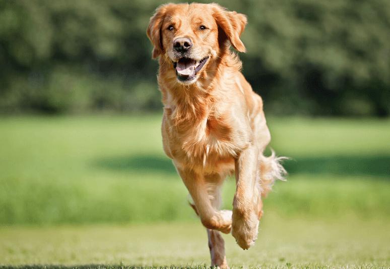 La guida sul cane golden retriever 6