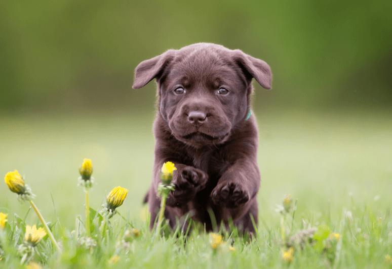 La guida sul cane labrador retriever (11)