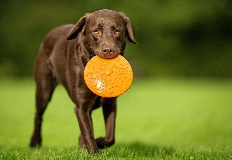 La guida sul cane labrador retriever (3)