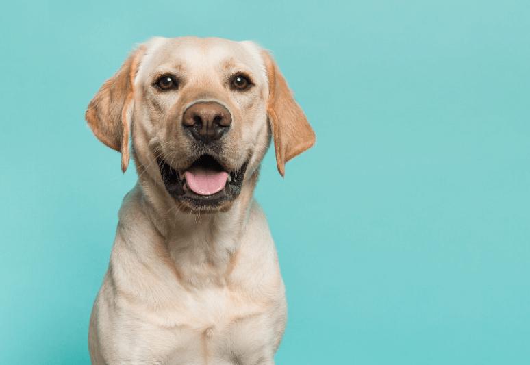 La guida sul cane labrador retriever (7)