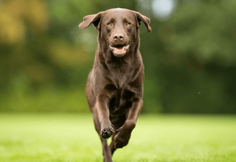 La guida sul cane labrador retriever (8)
