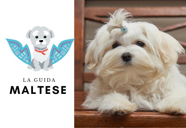 La guida sul cane maltese