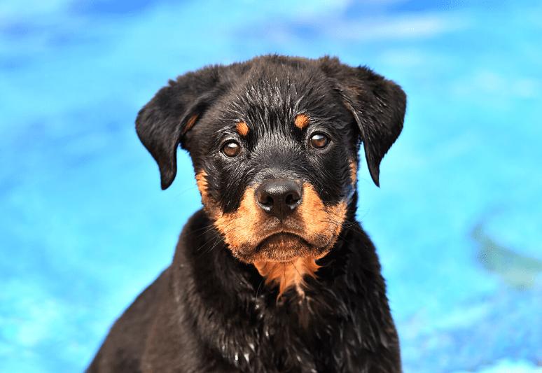 La guida sul cane rottweiler 8