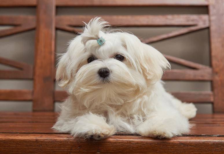 la guida sul cane maltese 1