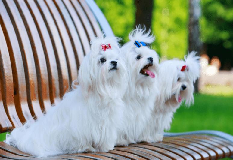 la guida sul cane maltese 3