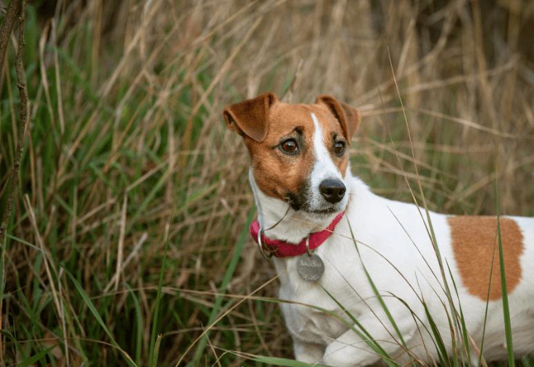 jack russel terrier - le migliori razze di cani da tartufo - il miglior cane per cercare tartufi - come addestrare un cane a cercare il tartufo