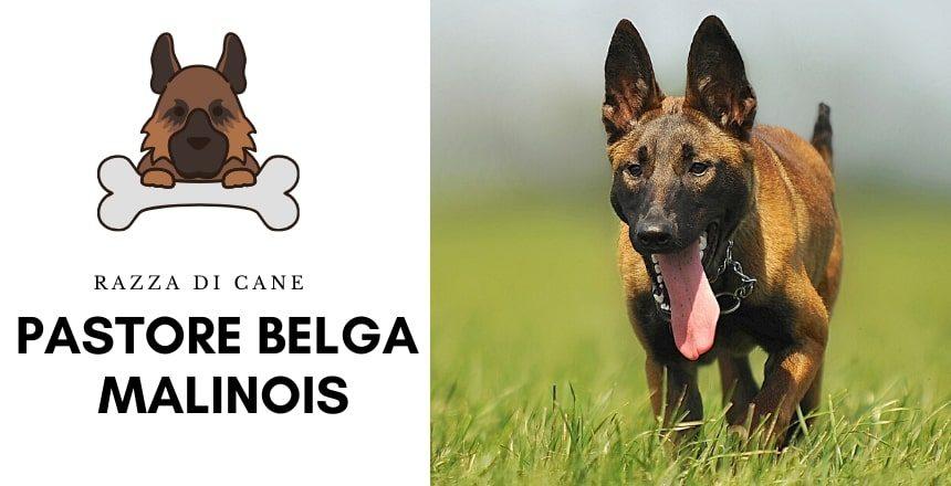 Cane Da Pastore Belga Malinois| Descrizione Della Razza 2020