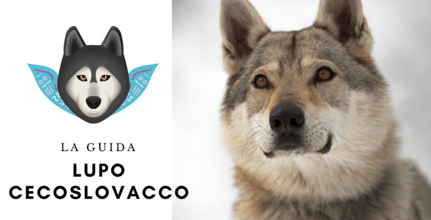 La guida sul cane lupo cecoslovacco