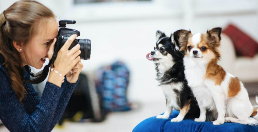 chihuahua posing for the camera